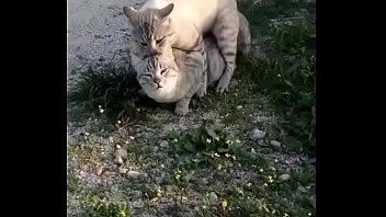 dos gaticos toh guapos foshando with linkin park song